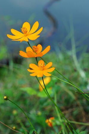 orange flower or Calendula  Pot Marigold  Flower
