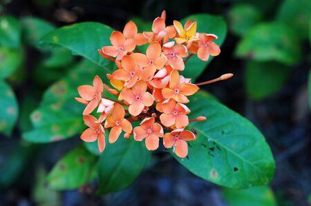 Ixora orange flower photo