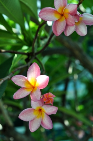 group of Frangipani flowers blooming  Stock Photo