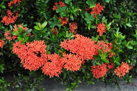 red Ixora flower Stock Photo