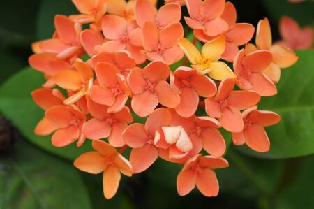 Ixora orange flower photo
