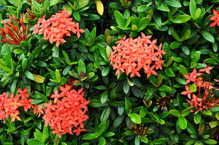 ixora flower photo
