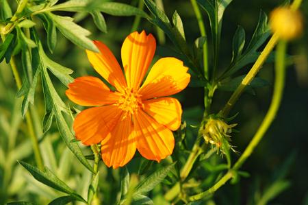 pot marigold: Calendula  Pot Marigold  Flower