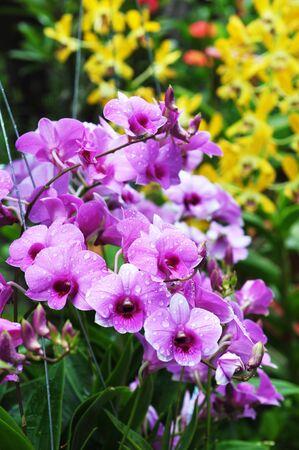 orchidea: orchid