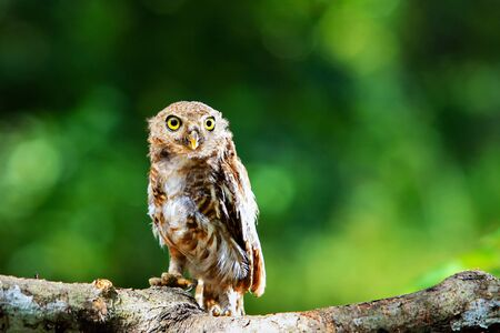 owls big yellow eyes on green blackground,wild animal in the nature