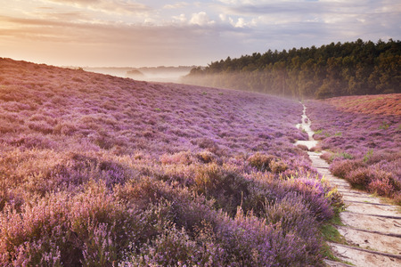A path through endless hills with blooming heather at sunrise. Photographed at the Posbank in The Netherlands.