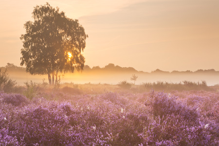 morning: Blooming heather on a foggy morning at sunrise. Photographed near Hilversum in The Netherlands.