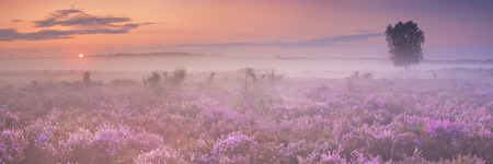 campo de flores: Blooming heather in The Netherlands on a beautiful foggy morning at sunrise.
