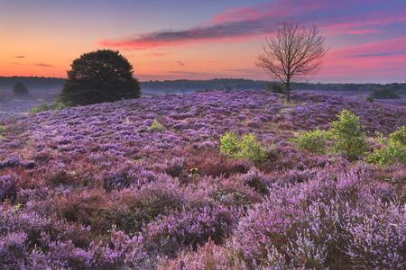 Endless hills with blooming heather at dawn. Photographed at the Posbank in The Netherlands. 免版税图像