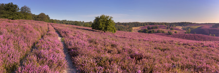 veluwe: A path through endless hills with blooming heather. Photographed at the Posbank in The Netherlands. Stock Photo