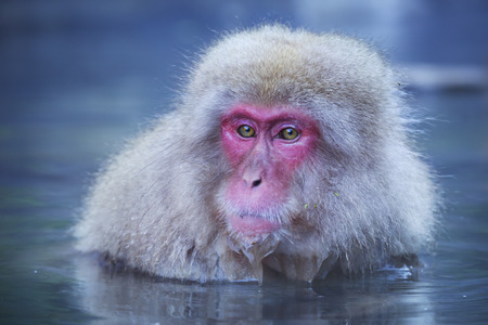 hot springs: A snow monkey Japanese macaque sitting in the hot springs at Jigokudani Monkey Park.