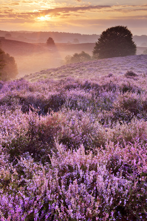 veluwe: Endless hills with blooming heather at sunrise. Photographed at the Posbank in The Netherlands. Stock Photo
