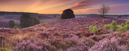 veluwe: Endless hills with blooming heather at dawn. Photographed at the Posbank in The Netherlands. Stock Photo