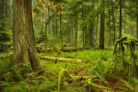 バンクーバー島, カナダの大聖堂の木立の中の緑豊かな熱帯雨林。