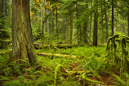 Lush rainforest in the Cathedral Grove on Vancouver Island, Canada.