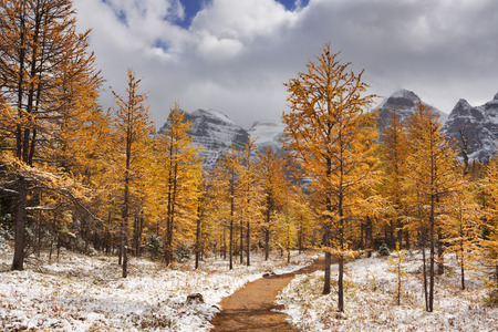 Beautiful bright larch trees in fall, with the first snow dusting on the ground. Photographed in Larch Valley, high above Moraine Lake in Banff National Park, Canada.
