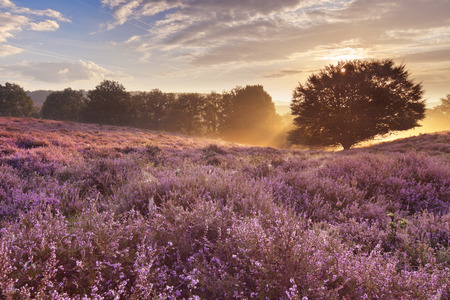 Endless hills with blooming heather at sunrise. Photographed at the Posbank in The Netherlands. Stock Photo