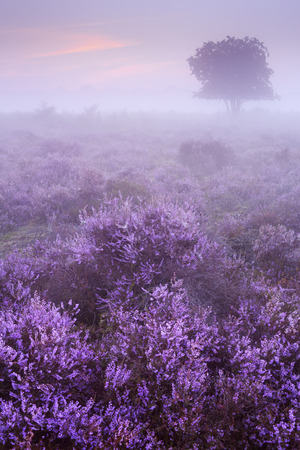 tranquil: Blooming heather on a foggy morning at dawn.  Stock Photo