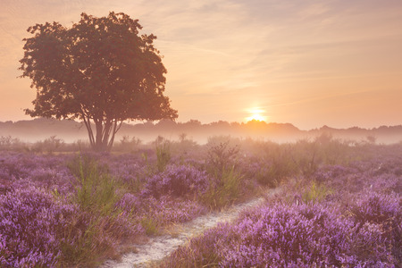 holland: Blooming heather on a foggy morning at sunrise. Photographed near Hilversum in The Netherlands.