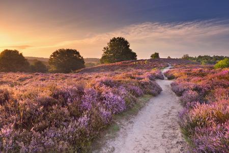 Een pad door eindeloze heuvels met bloeiende heide bij zonsopgang. Gefotografeerd op de Posbank in Nederland.