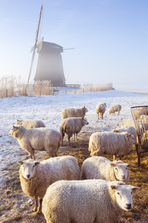 schermerhorn: A traditional Dutch windmill with sheep in front of it. Photographed on a beautiful frosty and foggy morning.