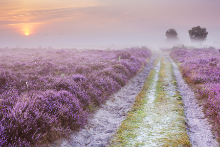 Path through blooming heather on a foggy morning at sunrise. Photographed near Hilversum in The Netherlands.