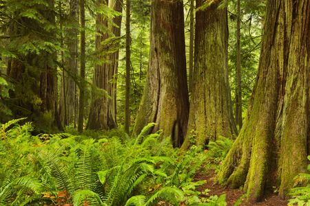 temperate: Lush rainforest in the Cathedral Grove on Vancouver Island, Canada.