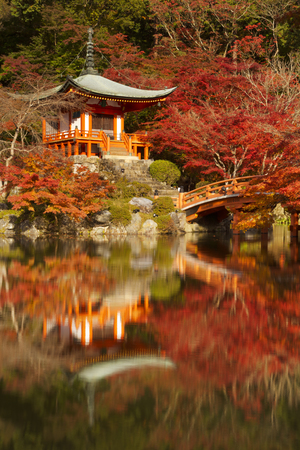 japanese fall foliage: Japanese maple trees in full autumn colors around the Benten-do Hall of the Daigo-Ji Temple in Kyoto, Japan.