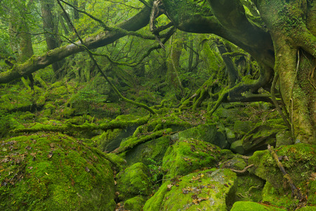 Lush rain forest along the Shiratani Unsuikyo trail on the southern island of Yakushima, Japan.
