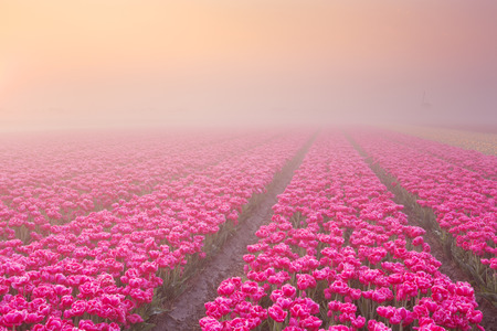 Colourful tulips in the Netherlands, photographed at sunrise on a beautiful foggy morning.