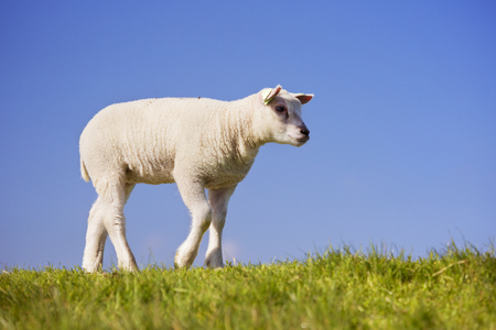 lamb: A cute little Texel lamb in the grass on the island of Texel in The Netherlands on a sunny day. Stock Photo