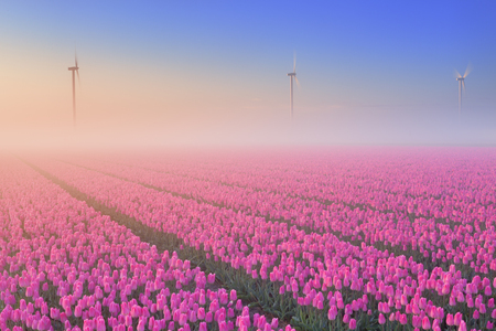 seepage: Colourful tulips in the Netherlands, photographed on a beautiful foggy morning. Stock Photo