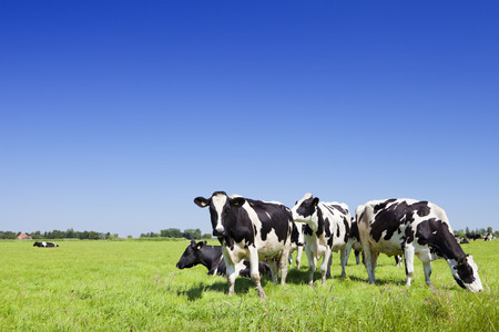 black and white farm: Black and white cows in a grassy field on a bright and sunny day in The Netherlands.