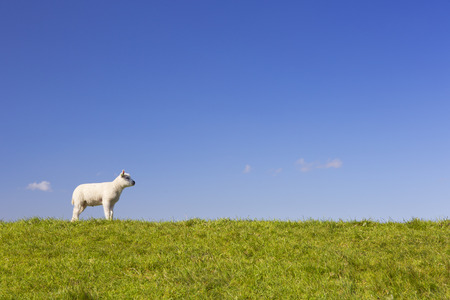 texel: A cute little Texel lamb in the grass on the island of Texel in The Netherlands on a sunny day. Stock Photo