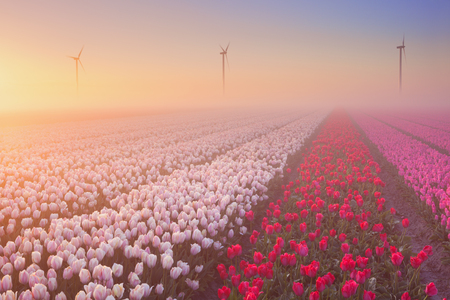 tulip: Colourful tulips in the Netherlands, photographed at sunrise on a beautiful foggy morning.