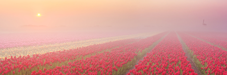 seepage: Colourful tulips in the Netherlands, photographed at sunrise on a beautiful foggy morning.