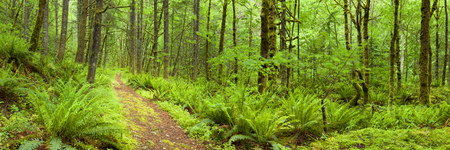 temperate: A path through lush rainforest in the Columbia River Gorge in Oregon, USA. Stock Photo