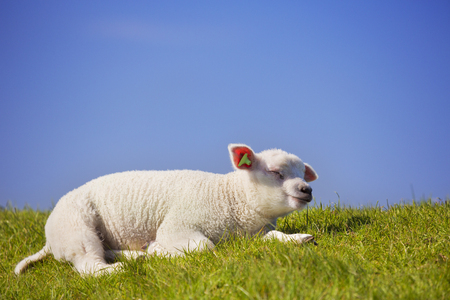 no photo: A cute little Texel lamb lying in the grass on the island of Texel in The Netherlands on a sunny day.