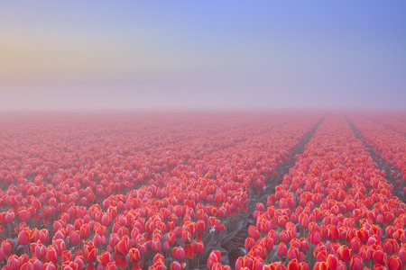 seepage: Colourful tulips in the Netherlands, photographed on a beautiful foggy morning at dawn.