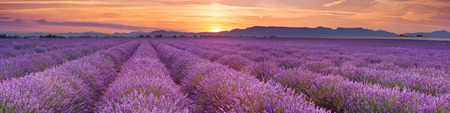 Wschód słońca nad kwitnące pola lawendy na płaskowyżu Valensole w Provence w południowej Francji.