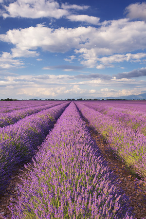 urban scene: Blooming fields of lavender on the Valensole plateau in the Provence in southern France.