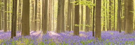 Een mooie bloeiende Bluebell bos in de vroege ochtend zonlicht. Gefotografeerd in het bos van Halle (Hallerbos) in België.