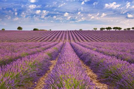 Blooming champs de lavande du plateau de Valensole en Provence dans le sud de la France.