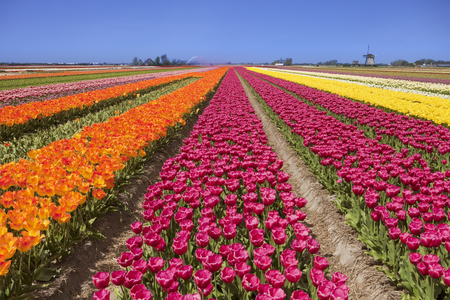 north holland: Colourful tulips on a sunny day in The Netherlands with a traditional windmill in the background.