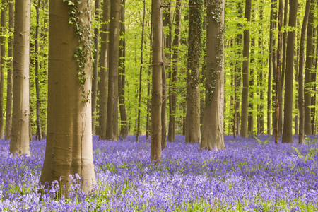 A beautiful blooming bluebell forest. Photographed in the Forest of Halle (Hallerbos) in Belgium. Stock fotó