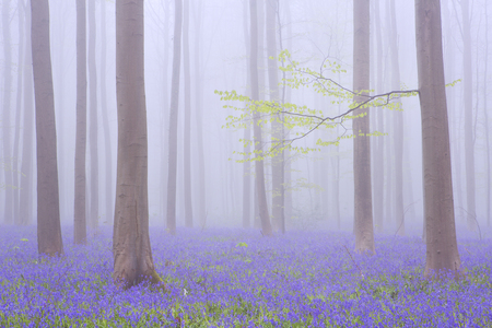 A beautiful blooming bluebell forest. Photographed on a foggy morning in the Forest of Halle (Hallerbos) in Belgium.