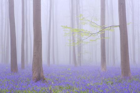 Een mooi bloeiend klokje bos. Gefotografeerd op een mistige ochtend in het Bos van Halle (Hallerbos) in België.