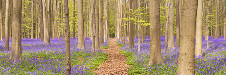 A path through a beautiful blooming bluebell forest. Photographed in the Forest of Halle (Hallerbos) in Belgium.