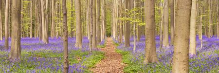 Een weg door een mooi bloeiend klokjesbos. Gefotografeerd in het Bos van Halle (Hallerbos) in België.
