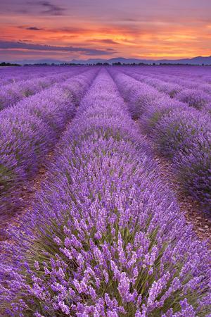 lever du soleil sur les champs de lavande sur le plateau de valensole dans la provence en provence du sud
